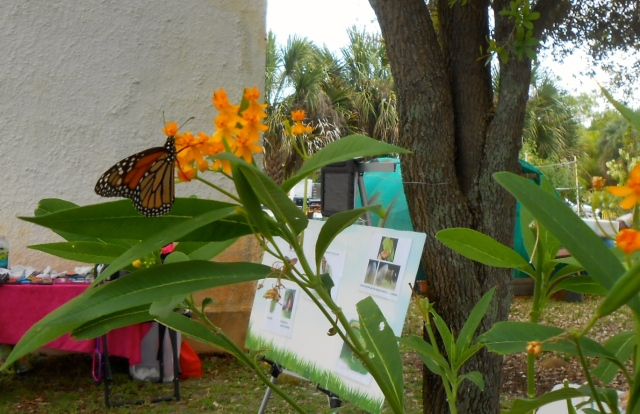 and right on cue comes the Monarch for a bit of nectar from the Milkweed plant